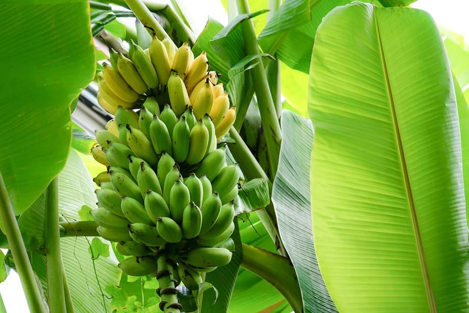 Banana Premium