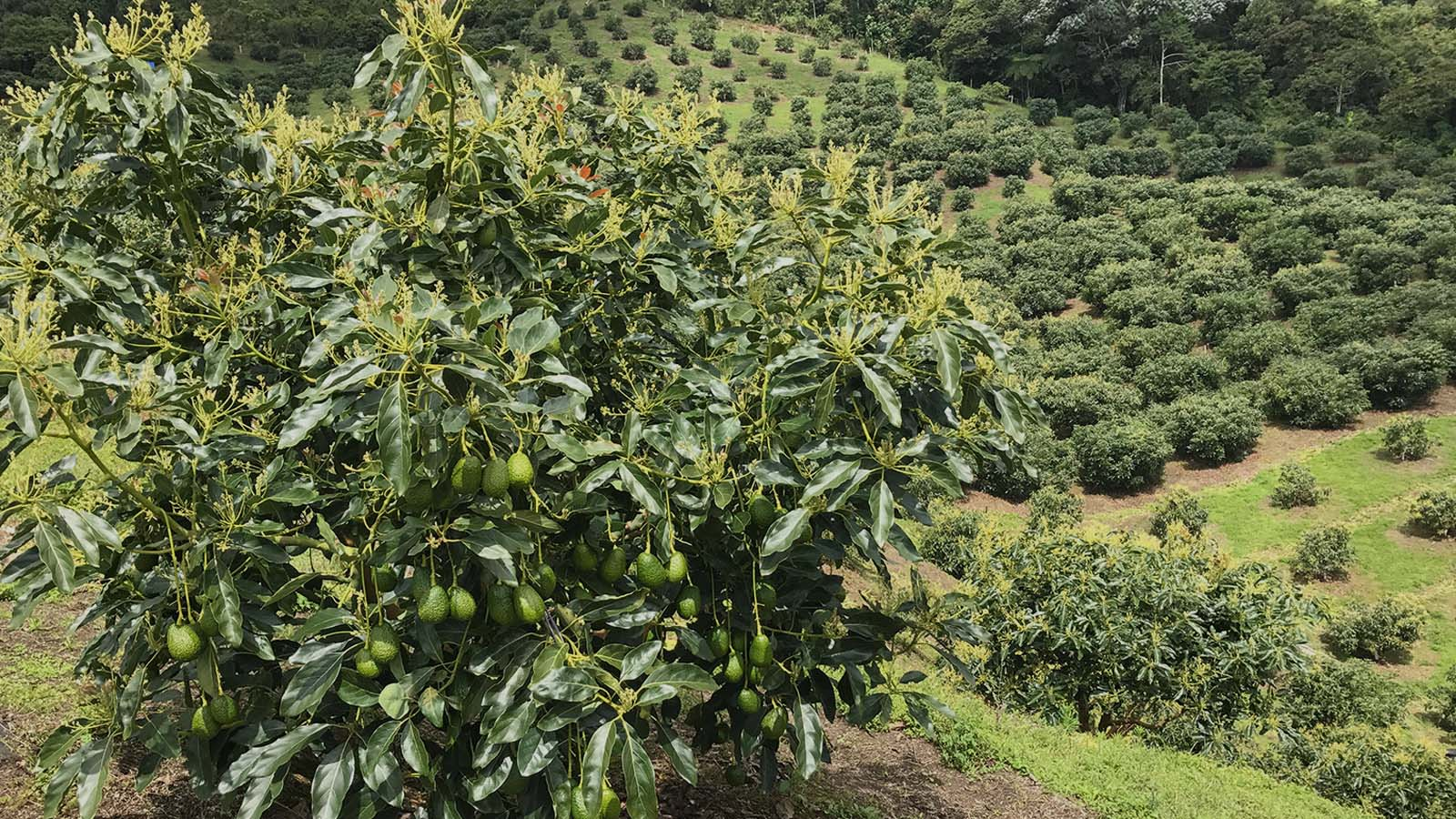 Racconto di un raccolto, l'Avocado Hass