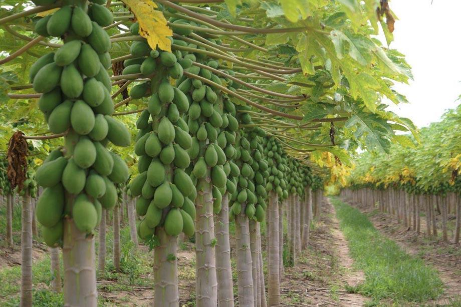 Coltivazione Papaya