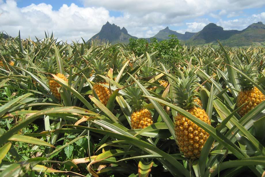 Ananas Gold Selection del Costa Rica