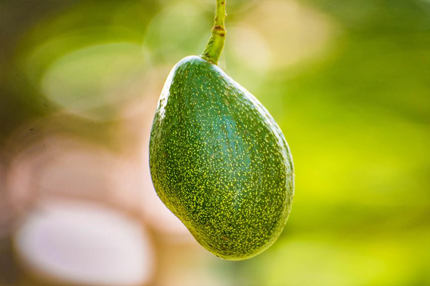 Ettinger: avocado ettinger sulla pianta