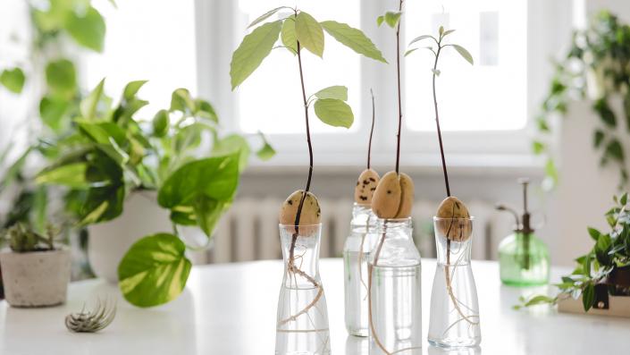 Nocciolo avocado con foglie in vaso