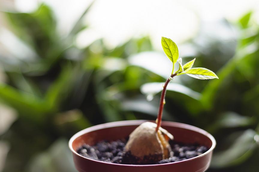 pianta di avocado in vaso con terriccio
