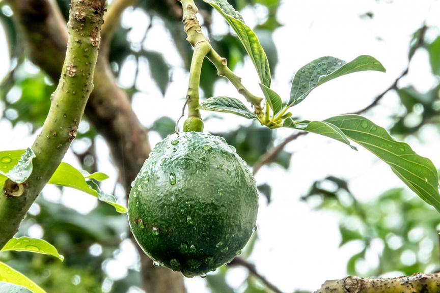 albero di avocado bagnato da rugiada pioggia