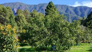 coltivazione avocado biologici