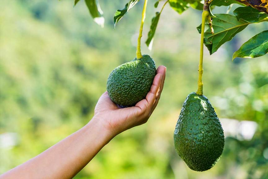 mano tocca avocado su albero