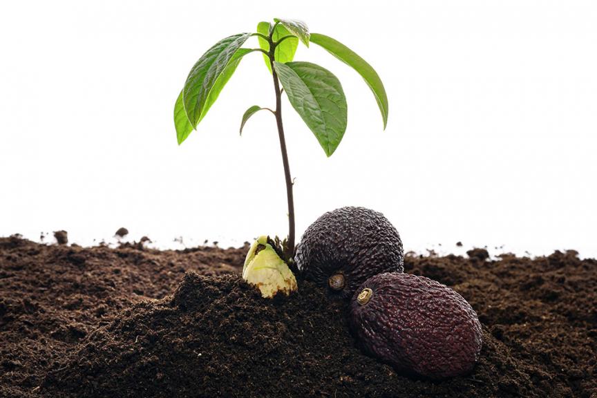 terreno marrone con foglie di avocado verdi e due avocado hass