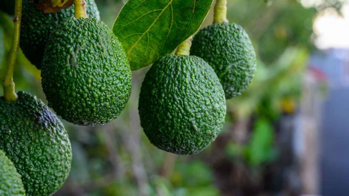 piantagione di avocado hass ancora non raccolta
